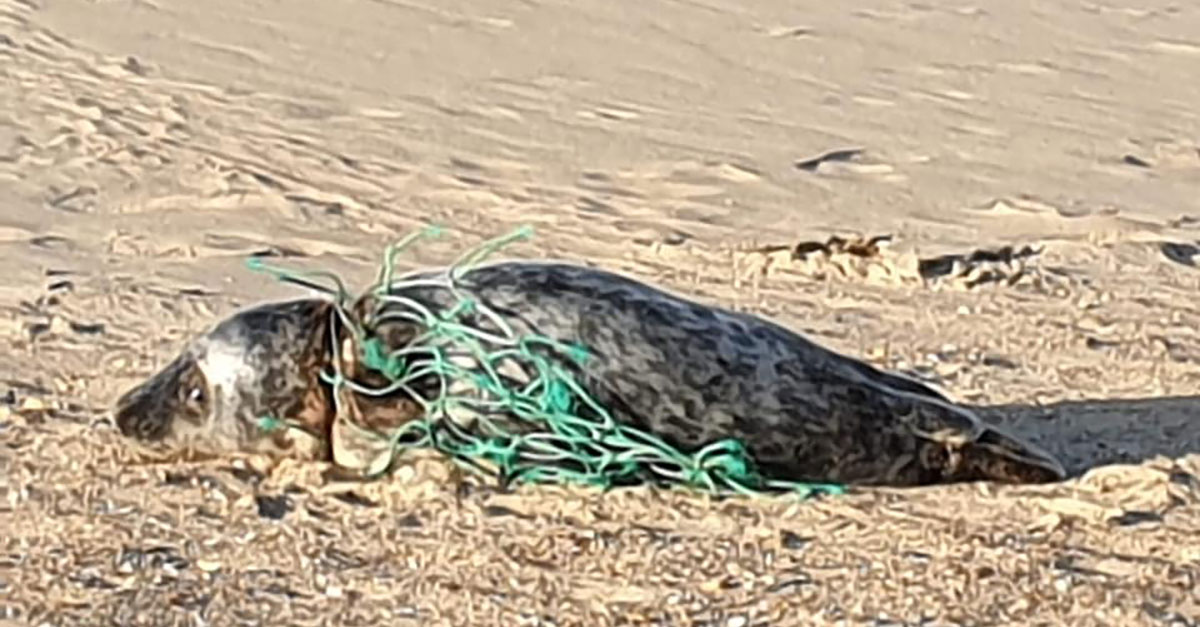 Wounded seal rescued from Norfolk beach
